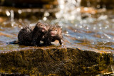 Mink babies playing in water