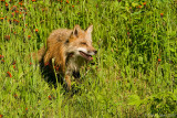 Fox emerging from hawkweed