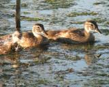 Canard branchu -Vie de famille  -  Wood Duck - Family life