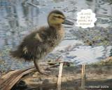 Canard colvert - Donald, le petit canard orphelin - Donald duck, the little orphan