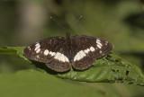 White Admiral - Kleine IJsvogelvlinder