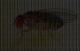 Drosophila.jpg