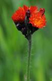 Pilosella-aurantiaca.jpg