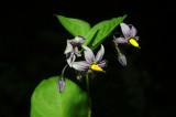 Solanum-dulcamara.jpg