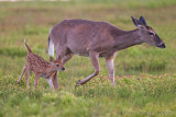 49518 - fawn with mother