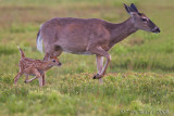 49519 - Fawn with mother
