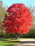 Two red maples