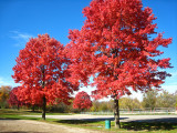 Three red maples