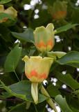 2 tulip tree flowers