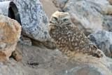 Owl, Burrowing 0112