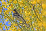 Warbler, Yellow Rumped 0652