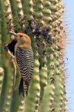 Woodpecker, Gila 0811