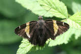 Gold Banded-Skipper (Autochton cellus)
