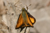 Taxiles Skipper (Poanes taxiles)