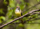 GREAT CRESTED FLYCATCHERS (Myiarchus crinitus)