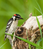 HAIRY WOODPECKERS (Picoides villosus)