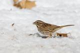 Song Sparrow _11R1925.jpg