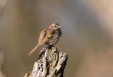 Song Sparrow _I9I5550.jpg