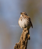 Song Sparrow _I9I5578.jpg