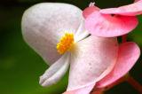 Blissful Begonia