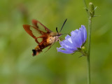 Hummingbird Moth 8023