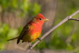 Summer Tanager 1st year male