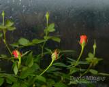 Nov 21: Rain & Roses
