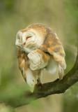 Barn Owl Preening