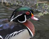 20080508 172 Wood Duck (Male).jpg