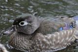 20080508 226 Wood Duck (female).jpg