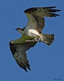 20080710- D200 045 Osprey.jpg