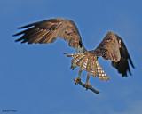 20080710- D200 049 Osprey.jpg