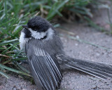 20080622 200 090 Chickadee SERIES.jpg