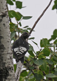 20080728- D300 021 Red-headed Woodpecker (Juv).jpg