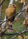 20081027 023 Northern Cardinal female.jpg