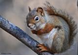 20081108 036 Red Squirrel SERIES.jpg