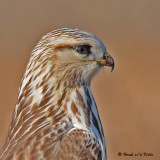 20081119 079 Rough-legged Hawk SERIES.jpg