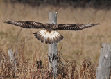 20081119 322 Rough-legged Hawk SERIES.jpg