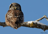 20081208 671 Northern Hawk Owl.jpg
