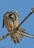 20081208 210 Northern Hawk Owl.jpg