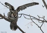 20081216 252 Northern Hawk Owl SERIES.jpg