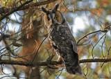 20091019 027 Long-eared Owl.jpg