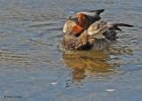 20091018 346 Redhead Duck (M).jpg
