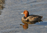 20091018 323 Redhead Duck.jpg