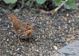 20091020 171 Fox Sparrow.jpg