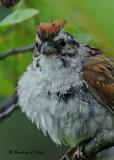 20090730 198 Swamp Sparrow.jpg