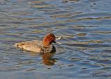 20091018 180 Redhead Duck.jpg