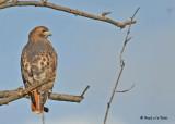 20091104 024 Red-tailed Hawk - SERIES.jpg