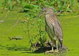 20090824 106, 093 Black-crowned Night-Heron (juv) - SERIES.jpg
