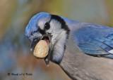 20091108 371 Blue Jay.jpg